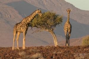 NAM0815_0574_Giraffes in the Damaraland region (Namibia)