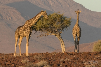 NAM0815_0574_Giraffes in the Damaraland region (Namibia)