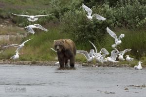 ALA0814_0575_Grizzly bear and seagulls in Katmai National Park (Alaska, USA)