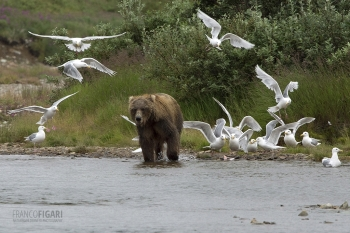 ALA0814_0575_Grizzly bear and seagulls in Katmai National Park (Alaska, USA)