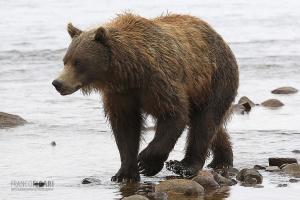 ALA0814_0577_Grizzly bear in Katmai National Park (Alaska, USA)