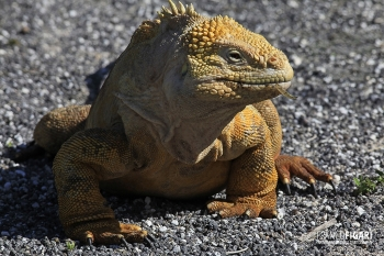 GAL0509_0579_Land iguana (Santa Cruz Island, Galapagos)