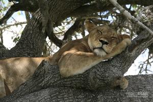TAN0109_0580_Lioness (Selous Game Reserve, Tanzania)