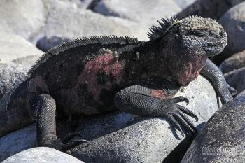 GAL0509_0581_Marine iguana (Fernandina Island, Galapagos)