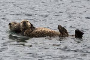 ALA0814_0582_Mother otter swims with her pup in Kachemak Bay (Alaska, USA)
