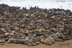 NAM0815_0585_Sea lion colony at Cape Cross on the Skeleton Coast (Namibia)