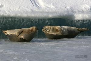ISL0309_0587_Seals resting on the ice of Jökulsárlón lagoon (Iceland)