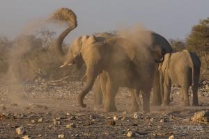NAM0815_0588_The elephants' shower of sand (Namibia)