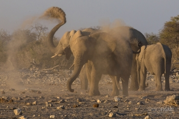 NAM0815_0588_The elephants' shower of sand (Namibia)