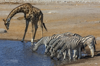 NAM0815_0589_The water pools in Etosha National Park (Namibia)