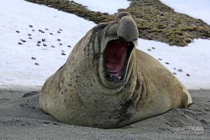 SGE1109_0590_The yawn of the elephant seal (South Georgia)