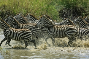 TAN0109_0494_Zebras in Serengeti National Park (Tanzania)